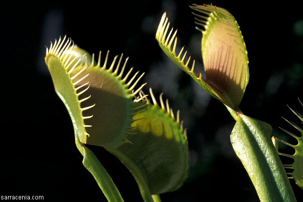 Files For DD v41 carnivorous_plant.